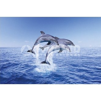 poszter Dolphin Trio - Pyramid Posters - PP30267